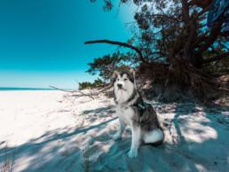 pies rasy alaskan malamut na plaży w Juracie Navaho Snow Dust wolf huts fci